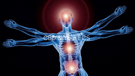 CBD and Your Endocannabinoid System