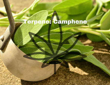 Hemp Terpene and It's Effect: Camphene